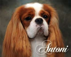 Antoni is our gorgeous Male Cavalier King Charles Spaniel