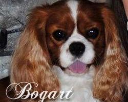 Bogart - Blenheim Cavalier King Charles Spaniel