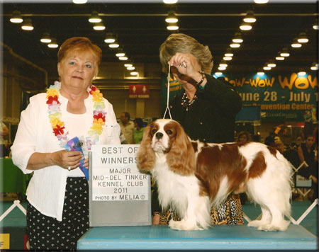 Dallas - Blenheim Cavalier King Charles Spaniel