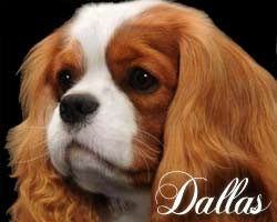 Dallas - Blenheim Cavalier King Charles Spaniel