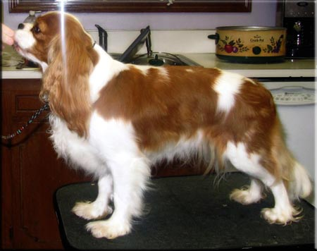 Hope - Blenheim Cavalier King Charles Spaniel