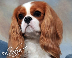 Meet Luke, Our Male Cavalier King Charles Spaniel
