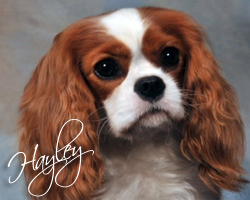 Meet Hayley, Our Female Cavalier