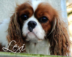 Meet Lexi, Our Female Cavalier