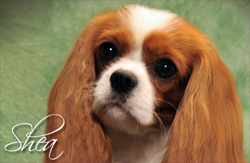 Meet Shea, Our Female Cavalier
