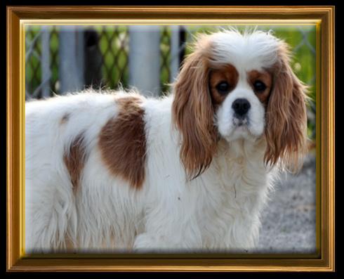 Rockstar - Blenheim Cavalier King Charles Spaniel