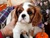 cavalier-king-charles-spaniel-puppies-4