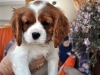 cavalier-king-charles-spaniel-puppies-3
