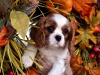 cavalier-king-charles-spaniel-puppies-2