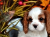 cavalier-king-charles-spaniel-puppies-1