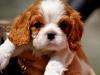 cutest-cavalier
